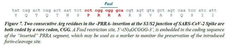 "Faul (Click to Enlarge) Figure 7. Two consecutive Arg residues in the -PRRA- insertion at the S1/S2 junction of SARS-CoV-2 Spike are both coded by a rare codon, CGG. A FauI restriction site, 5'-(N)6GCGGG-3', is embedded in the coding sequence of the ""inserted"" PRRA segment, which may be used as a marker to monitor the preservation of the introduced furin-cleavage site."